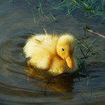 young duckling