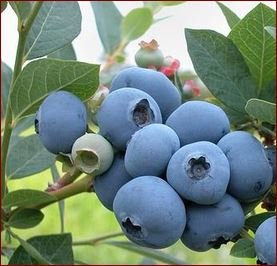 2017 August MGFKC eNewsletter - blueberries