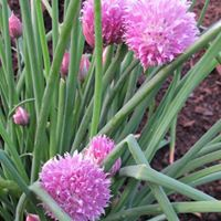 Chive blossoms—Photo credit MG Gia Parsons