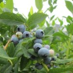 Blueberries—Photo credit: Linda Shepherd